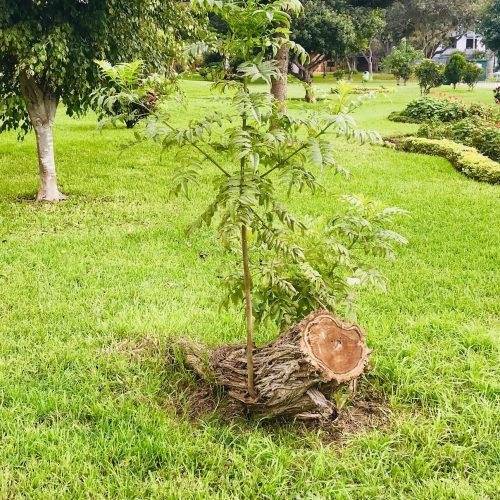 árbol renaciendo de un tronco cortado
